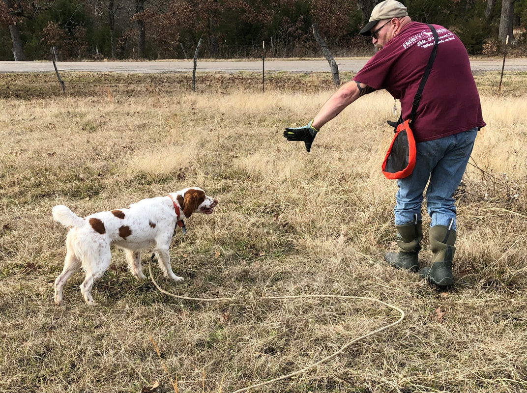 American Brittany Puppies for Sale, Gun Dogs, Bird Hunting Dogs, Texas